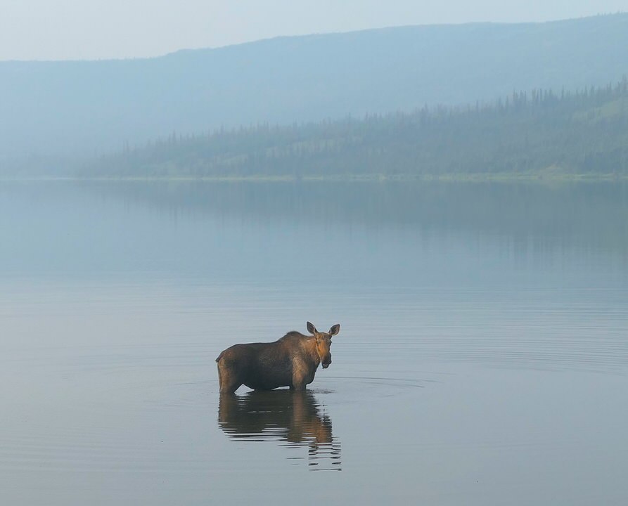 A Moose in Wonder Lake, Denali National Park